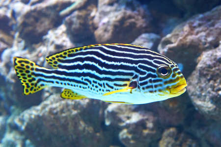 sweetlips: Yellowbanded Sweetlips seen from the side in its habitat