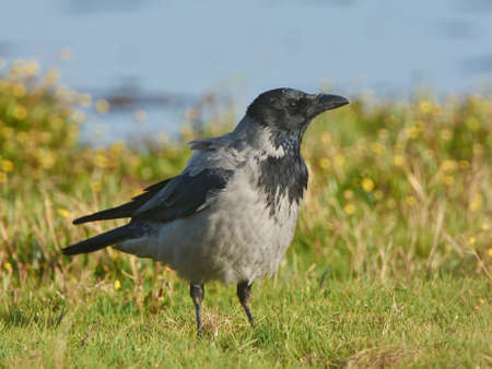 hooded: Hooded Crow resting in grass in its habitat
