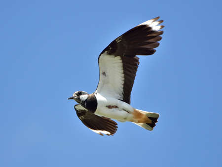 lapwing: Northern Lapwing in flight with blue skies in the background