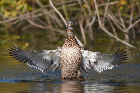 water wings: Female wild duck with open wings and water drops in the air