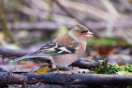 chaffinch: Chaffinch resting on a branch in its habitat