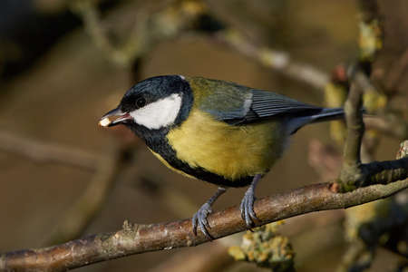 great: Great Tit resting on a branch with food in its beak