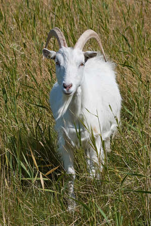 landrace: White Danish Landrace goat seen from the front standing in natural surroundings Stock Photo