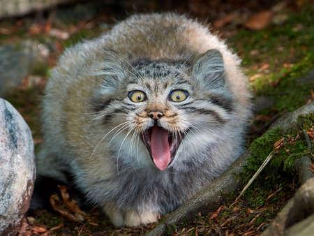 Retrato del primer de un menor Pallas gato de frente con la boca abierta