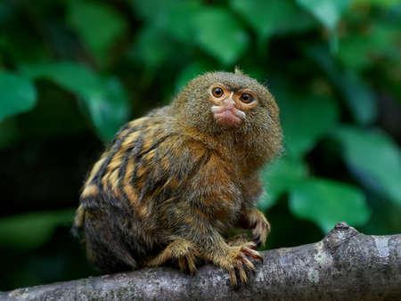 ouistiti pygmée assis sur une branche dans son habitat