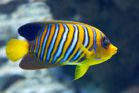 Regal angelfish seen from the side in its habitat