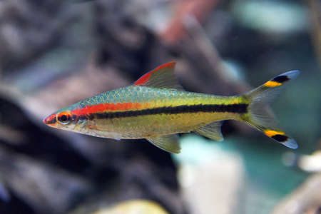 marinelife: Closeup image of the Denison barb seen from the side Stock Photo