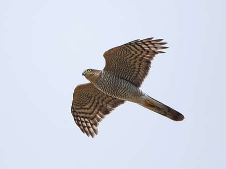 sparrowhawk: Eurasian sparrowhawk with blue skies in the background