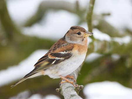 habitat: Brambling resting on a branch in its habitat