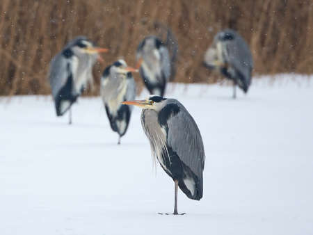 habitat: Grey Herons standing on snow and ice in their habitat