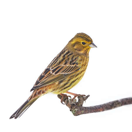 Yellowhammer resting on a branch isolated on a white background