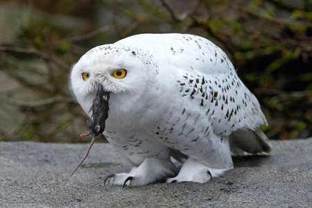 bird eating raptors: Snowy owl sitting on a rock with a mouse in its beak Stock Photo