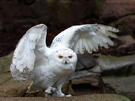 Snowy owl sitting on a rock with open wings