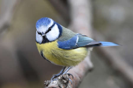 eurasian: Eurasian blue tit resting on a branch in its habitat