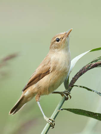 habitat: Eurasian reed warbler resting on a branch in its habitat Stock Photo