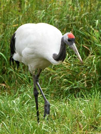 Red crowned crane looking for food in its habitat