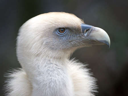 diffuse: Closeup portrait of a Griffon vulture on a dark diffuse background Stock Photo