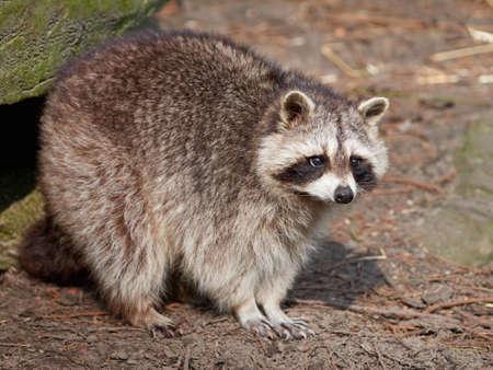 habitat: Raccoon seen from the side standing in its habitat