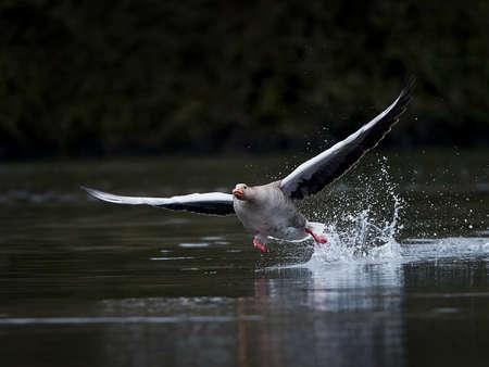 Greylag goose running on water in its habitat