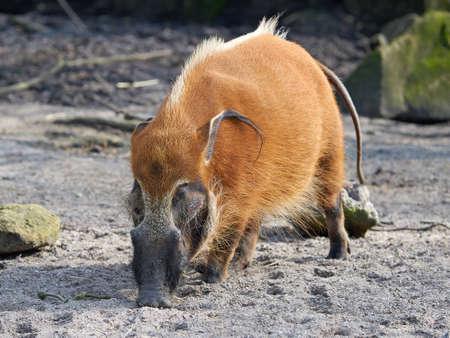 bush hog: Red river hog looking for food in its habitat