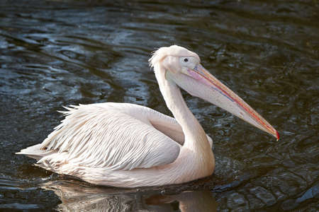 great white pelican: Great white pelican swimming in water in its habitat Stock Photo
