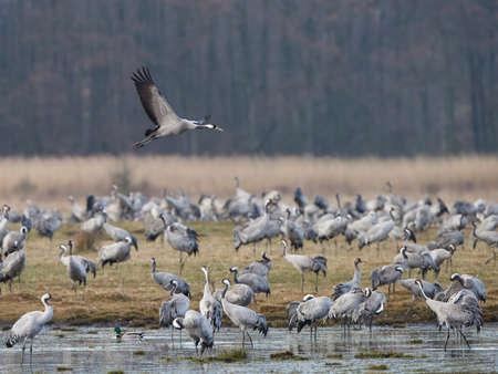 sweden resting: Common cranes resting in their natural habitat
