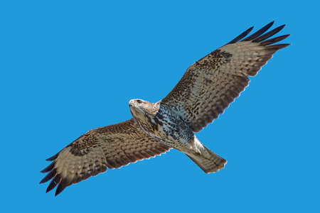 raptors: Common buzzard in flight with blue skies in the background