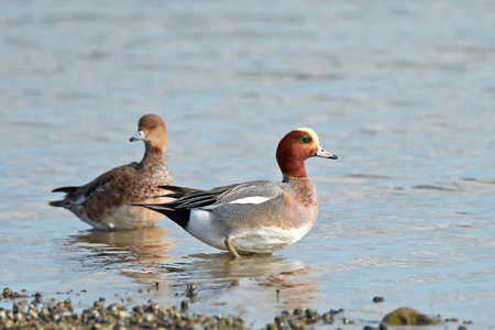 彼らの自然の生息地で休んでユーラシアの wigeons 写真素材