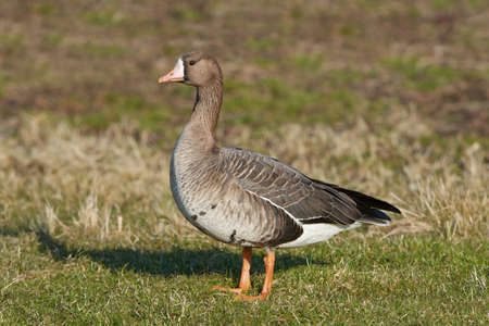white fronted goose: Greater white-fronted goose resting on the ground in its habitat Stock Photo