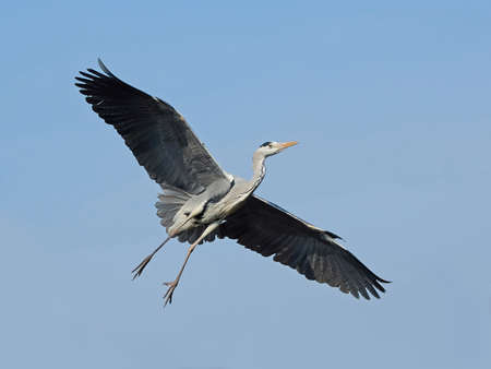 grey skies: Grey heron in flight with blue skies in the background Stock Photo