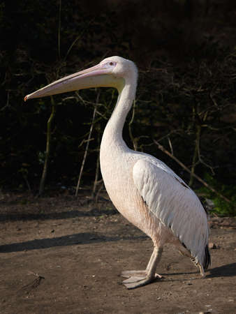 great white pelican: Great white pelican standing on the ground in its habitat