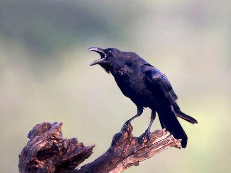 beak: Common raven sitting on a branch with open beak Stock Photo