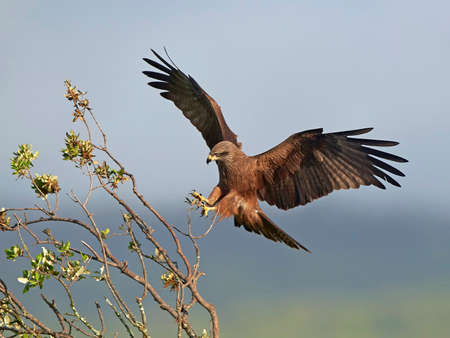 black kite: Black kite with open wings landing on a branch Stock Photo