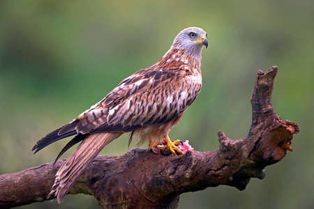 bird eating raptors: Red kite sitting on a branch with raw meat in its claws