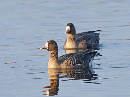 white fronted goose: Greater white-fronted geese swimming in its habitat