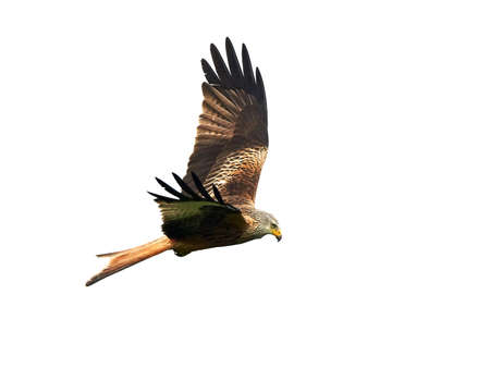 animal kite: Red Kite in flight isolated on a white background