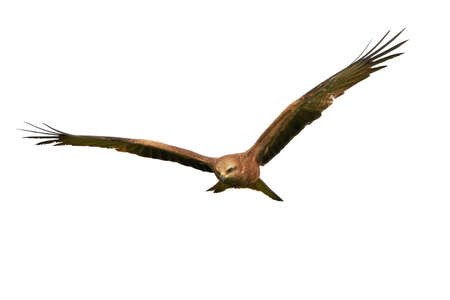 black kite: Black kite in flight isolated on a white background Stock Photo