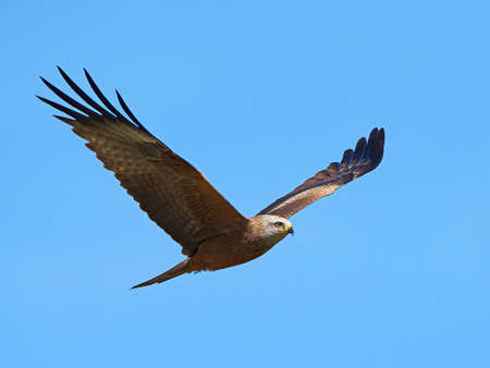 black kite: Black kite in flight with blue skies in the background Stock Photo
