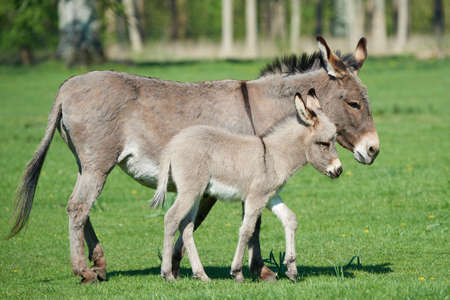baby ass: Donkey mum and her little baby walking on grass Stock Photo