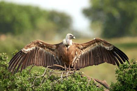Griffon vultures resting on a branch in its habitat Standard-Bild