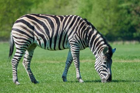 chapmans: Chapmans zebra eating grass in its habitat
