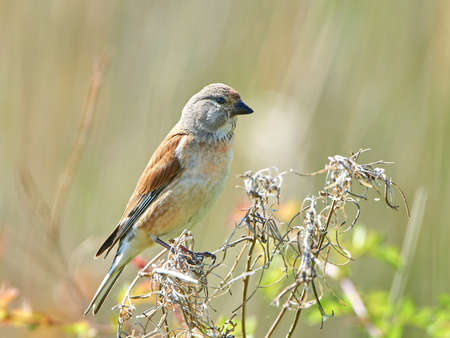 habitat: Common linnet resting on a branch in its habitat Stock Photo
