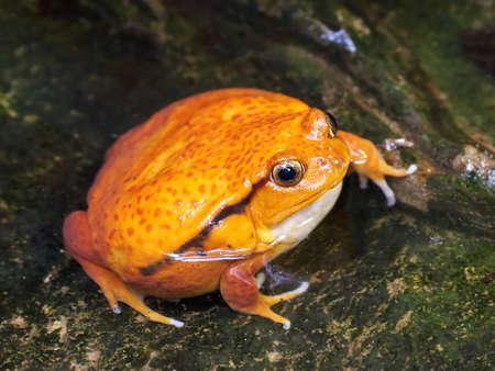 その生息地の水に座っているサンバヴァ トマト カエル 写真素材