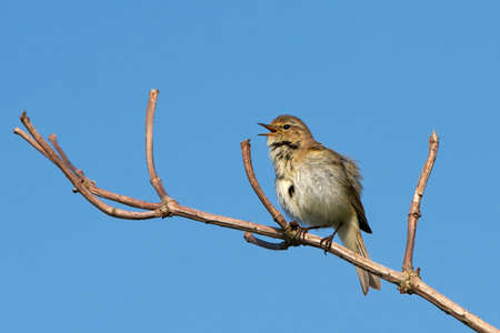 warbler: Marsh warbler sitting on a branch and are singing