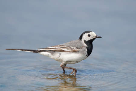 wagtail: White wagtail walking in water in its habitat Stock Photo