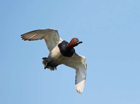 common pochard: Common pochard in flight with blue skies in the background