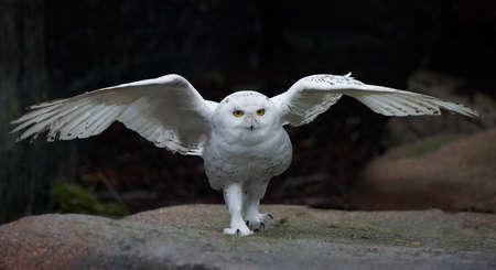 snowy owl: Snowy owl with open wings in its habitat