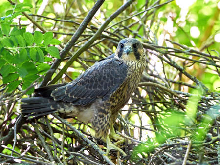 juvenile: Juvenile Peregrine falcon sitting on branches in its habitat