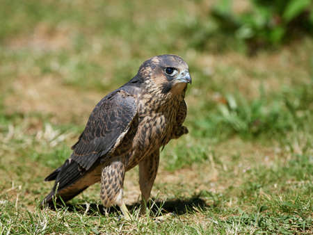 juvenile: Juvenile Peregrine falcon sitting in grass in its habitat Stock Photo