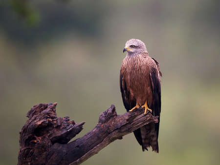black kite: Black kite resting on a branch in its habitat